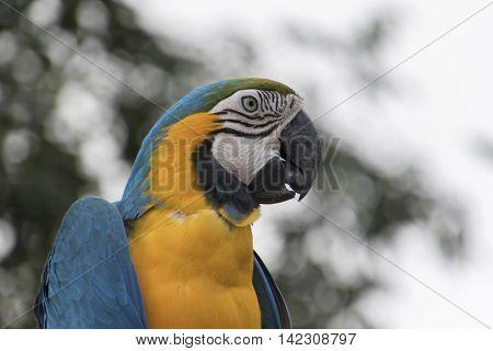 Ara Ararauna Parrot On Its Perch