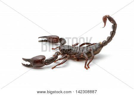Emperor Scorpion ( Pandinus imperator) on white background
