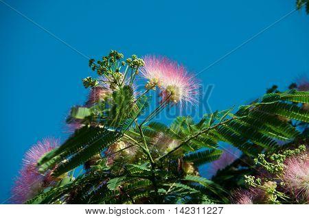 beautiful tree with various names Lenkoran acacia silk tree Albitius