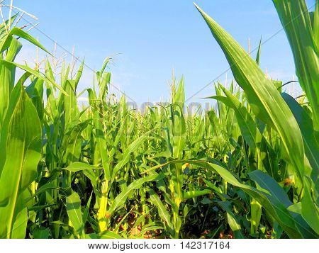 Many corn crops on corn field during day