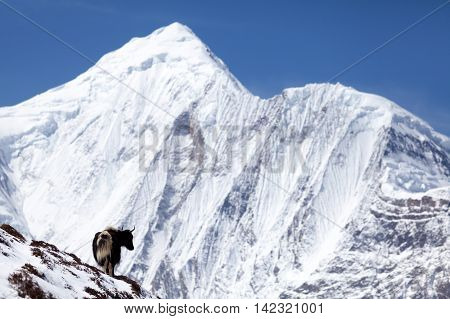 Yak with snow mountain Annapurna II in background on the Round Annapurna trek Annapurna Circuit Manang Nepal