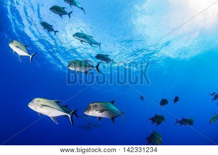Fish during a scuba dive at Isla Revillagigedos, Mexico