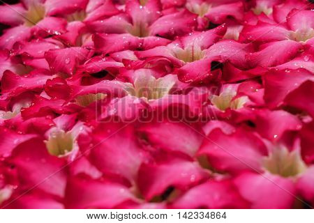 Beautiful romantic red flowers with waterdrops for background, wallpapper or postcard