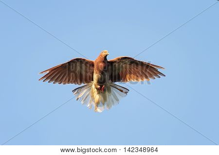 beautiful bird red dove fluffed its wings and tail up in the blue sky