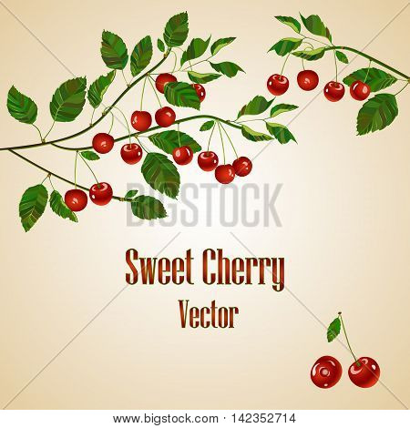 Cherry compositions. Cherry card with place for your text. Cherry branch. Vector. Cherry isolated on white background.