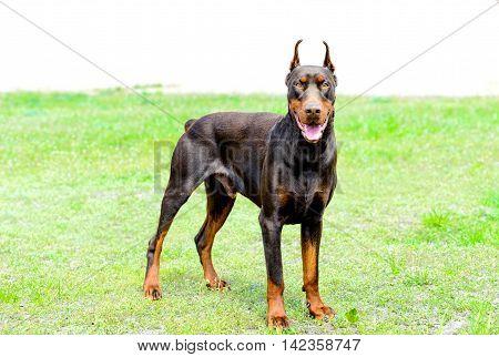Doberman Pinscher brown looks. The Doberman Pinscher drown is on the green grass in the park.