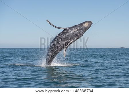 A whale breaches in the pacific ocean