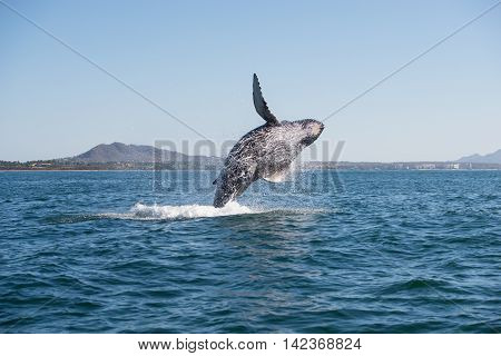 A happy whale breaches close to shore poster