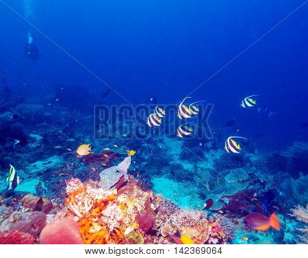 Underwater Landscape With Bannerfishes