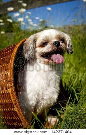 Cute little Shih-Tzu dog sitting in whicker basket on side panting, with wildflowers, grass and blue sky