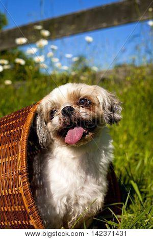Adorable little Shih-Tzu dog sitting in wicker basket nestled amongst wildflowers