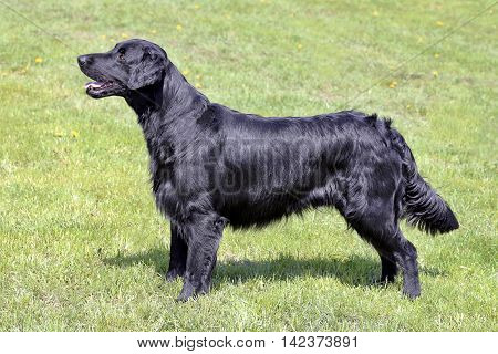 Typical Flat Coated Retriever in the spring garden