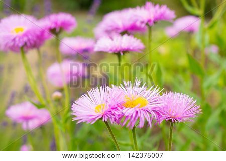 Group of lila Astra flowers. Photo texture and nature background.