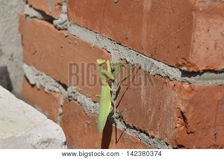 Mantis, Climbing On A Brick Wall.