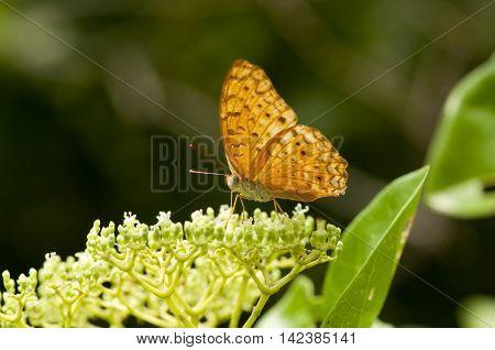 The leopard butterfly (Phalanta Phalanta) is feeding on Bandicoot Berry (Leea indica)