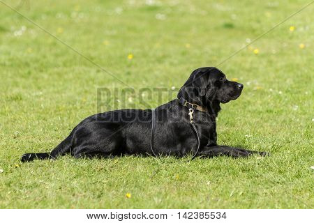 Black dog waits patiently for a command during a training session. He has a collar and lad on.