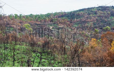 The Burnt Tree In The Forest After Wildfire