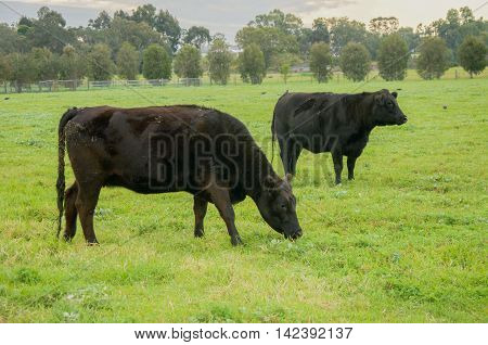 Black cows grazing in outdoor rural farmland pasture in the Swan Valley of Western Australia at dusk.