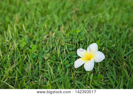 One White-yellow Fresh Plumeria On The Green Grass