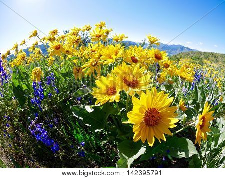 Bright sun flowers in meadows. Patterson Mountain in North Cascades National Park near Winthrop Washington.