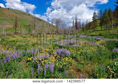 Hills covered with lupine and arnica wildflowers. North Cascades National Park Winthrop WA USA.
