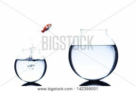goldfish jumping from small to bigger bowl isolated on white background