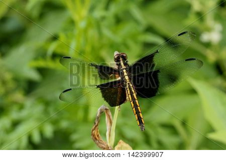 Skimmer dragonfly photographed in Raleigh, North Carolina.