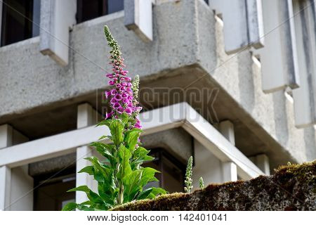 Pink flowers and concrete wall. Digitalis (Purple Foxgloves) at Simon Fraser University British Columbia Canada.