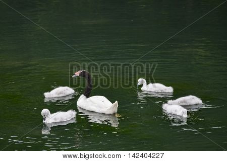 Black necked female swan cygnus melanocoryphus with her young cygnets