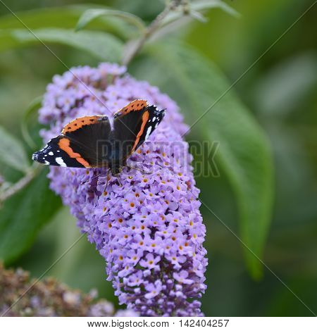 Lovely Image Of Red Admiral Butterfly Vanessa Atalanta On Vibrant Purple Flower In Summer