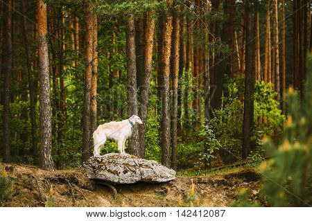 White Russian Borzoi, Hunting Dog standing on rock in forest.