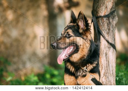 The Portrait Of Staring Medium Size Mongrel Mixed Breed Long-Haired Black And Red Adult Dog With Prick-Ears, Opened Jaws, Tongue, Teeth Tied To The Tree. Copyspace.