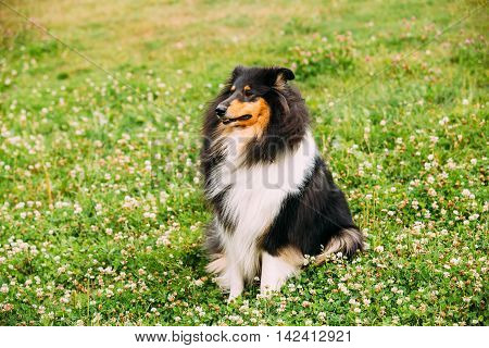 The Tricolor Rough Collie, Scottish Collie, Long-Haired Collie, English Collie, Lassie Adult Dog Sitting On The Clover Glade.