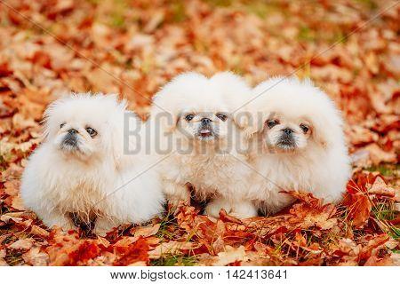 White Pekingese Pekinese Puppies Dog Sitting On Yellow, Orange Fall Foliage In Autumn Park Outdoor. Dogs Looking in Camera