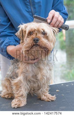 Grooming Yorkshire terrier by comb. Dog is sitting on the grooming table and is looking at the camera.