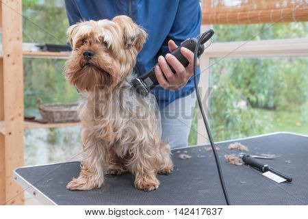 Grooming Yorkshire terrier by electric razor. Dog is sitting on the grooming table.