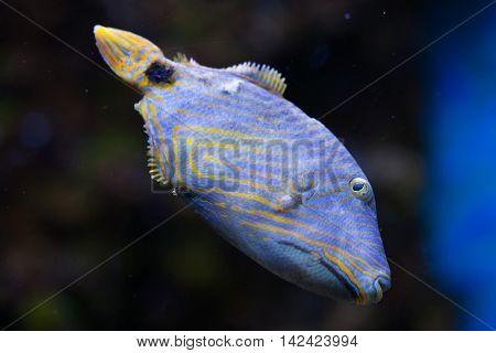 Orange-lined triggerfish (Balistapus undulatus). Sea life.