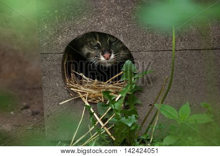 Fishing cat (Prionailurus viverrinus). Wildlife animal.