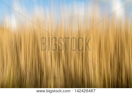 Artistic blurred shot of golden grass with a blue sky. Streaky background implies motion and movement.