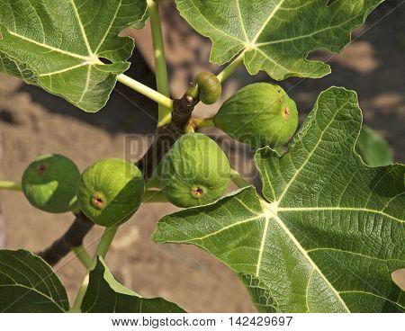 Growing organic figs in garden