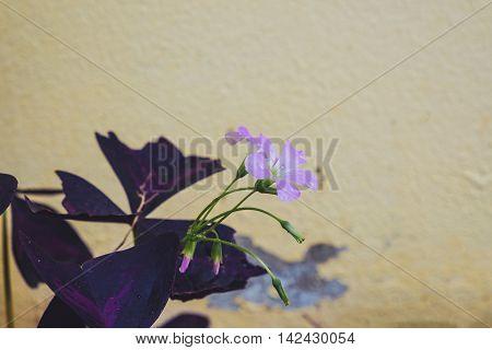 Close up Oxalis triangularis (Purple shamrock) filtered color.