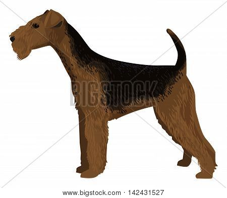 detailed dog drawing, Airedale Terrier, isolated on white, vector illustration