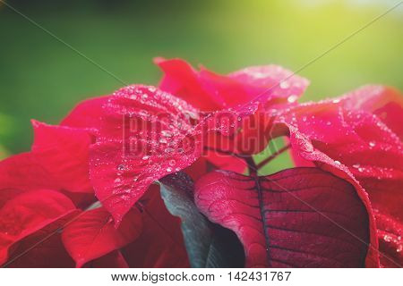 garden with red poinsettia flowers or christmas star close up, retro toned