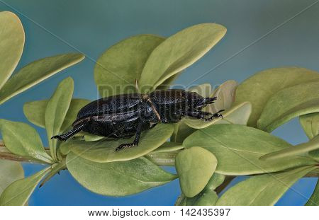 Lesser Stag Beetle on a Plant  -  Dorcus parallelipipedus (Linnaeus, 1758)