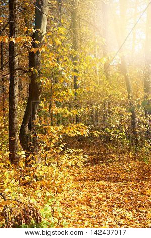 Autumn trees in the forest covered with golden leaves and lit with warm sun light