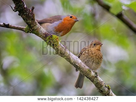 Male Robin With Juvenile Fledgling