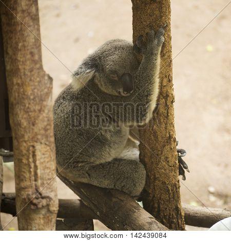 Portrait of male Koala bear sileeping on the tree