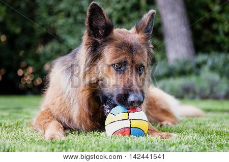 German shepherd in the garden playing with a ball.
