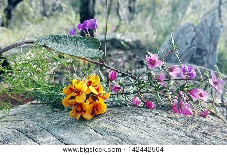 Australian native floral bouquet with pink Boronia, purple Hardenbergia violacea vine (false sarsaparilla) and yellow and red native pea flowers (Phyllota phylicoides) on a fallen Eucalyptus tree