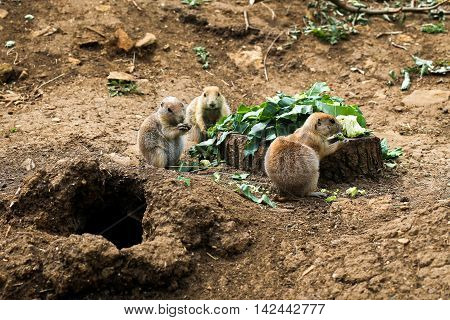 Black Tailed Prairie Dogs Eating Broccoli
